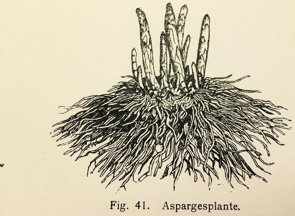 """En vakker illustrasjon av en asparges-rot fra Lysbakkens """"Lærebok i havedyrking"""" fra 1909."""