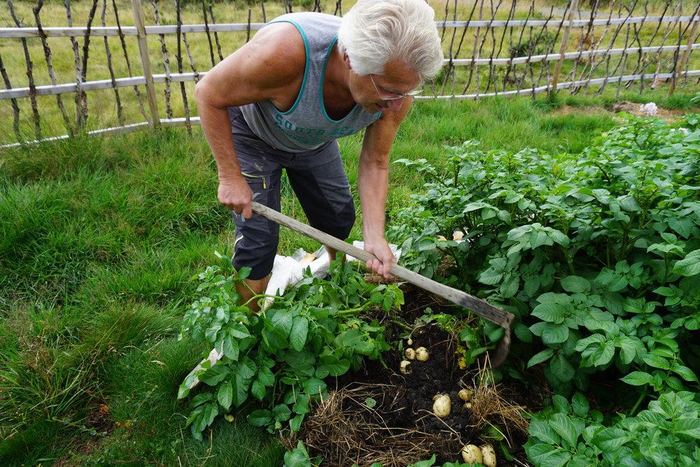 Milevis unna tørråte og brunsnegler vokser poteter og grønnsaker skadefritt om du bare klarer å holde frosten unna.