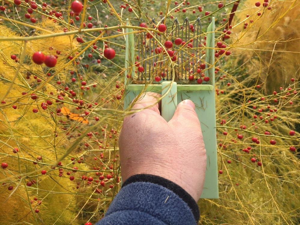 En vanlig bærplukker er ypperlig å høste aspargesbær med