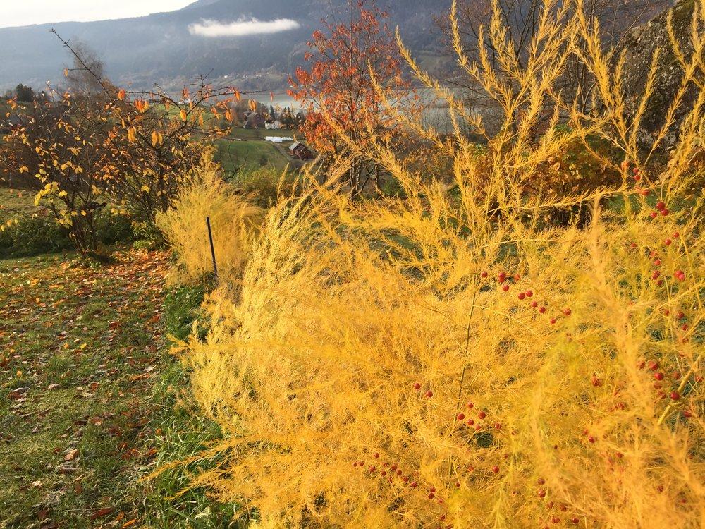 Høyt over Gudbrandsdalslågen ligger mors og fars aspargeshage. Nå kledd i høstfarger.