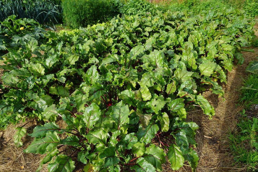 Med stadig påfyll av gress som jordekke trives marken og sørger på den måten for omsetning av næring til jord og planter. I Beredskapshagen bruker vi ikke annet enn gress, brenneslevann, aske og egen kompost. Det gir ualminnelig god vekst og samtidig lite vanning og luking.