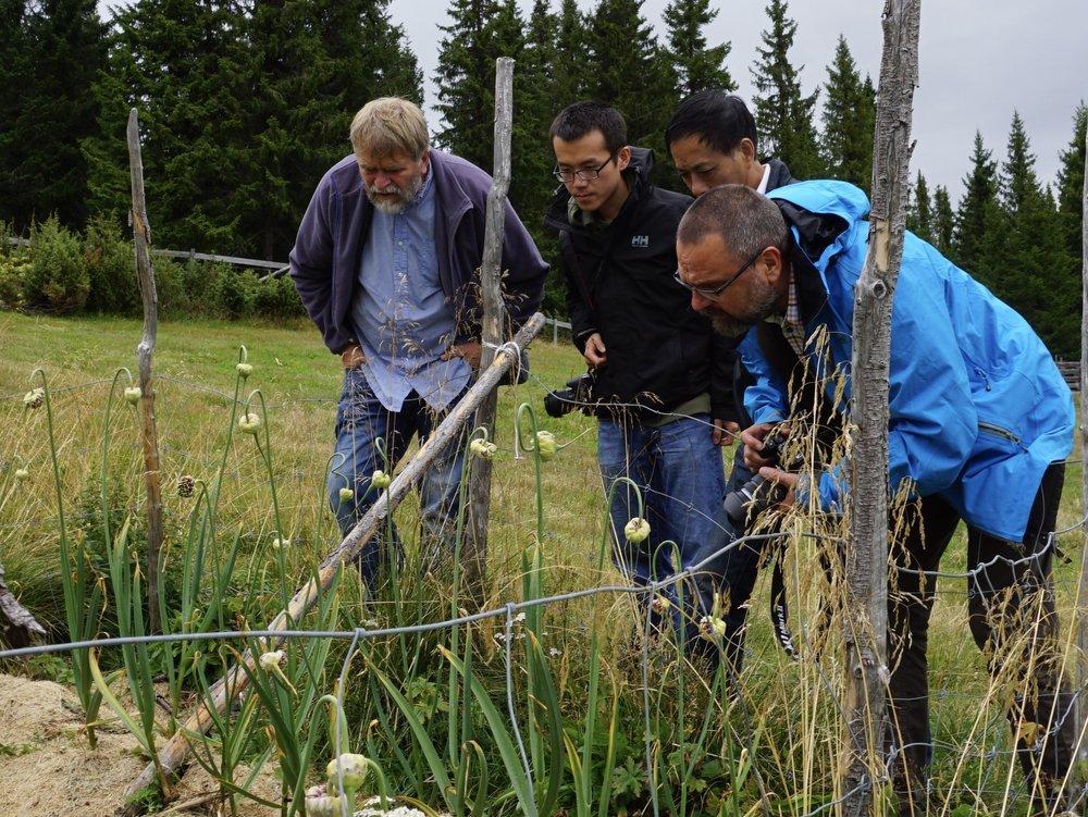 Fra høyre:: NIBIO forskeren Dag Ragnar Blystad, professor Wang, Stipendiat Min-Rui og Anders Nordrum på befaring i hvitløks feltet 940 moh i Valdres.