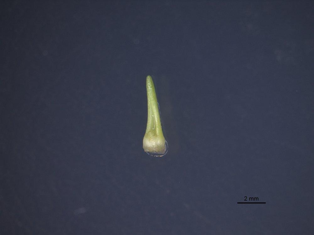 Smått er det første som vokser frem fra det friske vevet i laboratoriet (se mål referanse nederst til høyre i bildet).