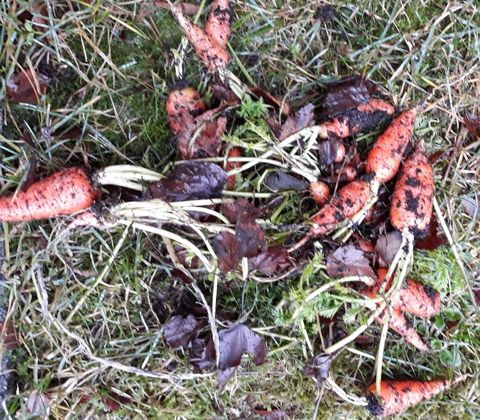 Merethe har høstet sine løvdekte gulrøtter. Foto Merethe Lauen