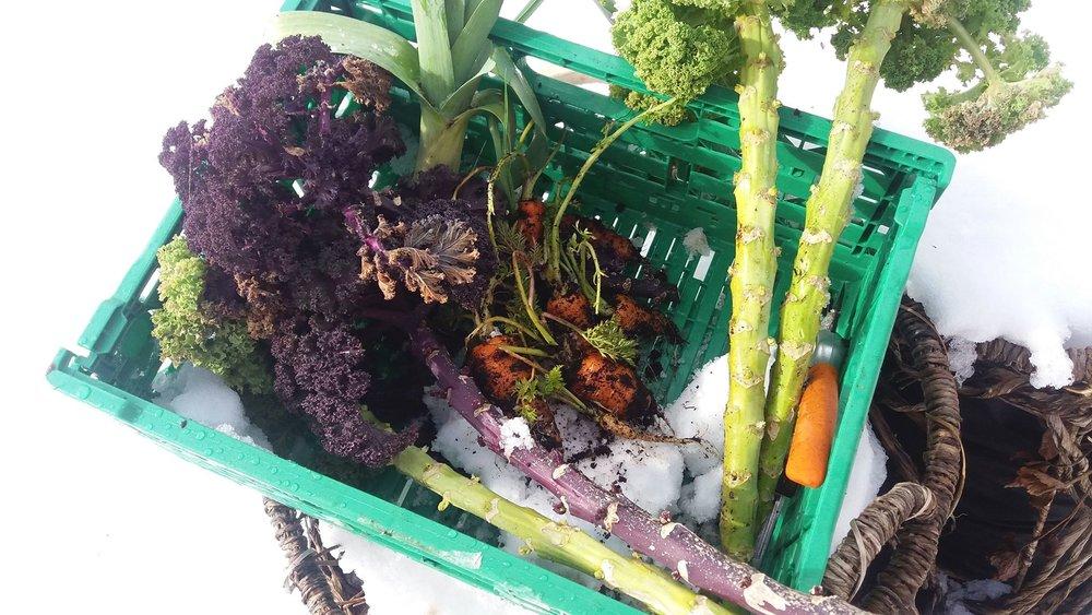 På vestlandet høster Merethe Lauen grønnsaker utendørs hele året. Det finnes ingen bedre måte å lagre på enn på voksestedet, om bare grønnsakene tåler kulden. Foto Merethe Lauen