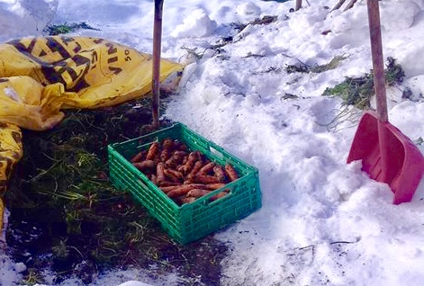 Høsting av gulrøtter 11 januar 2011 hos Grete og Bent Nilsen i Sande i Vestfold. Alt som skal til er godt dekke og god drenering. Foto Bent Nilsen