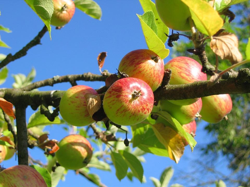 Mange drømmer om et epletre - kanskje et med mange sorter på. Det er fullt mulig når vi bare kan pode.