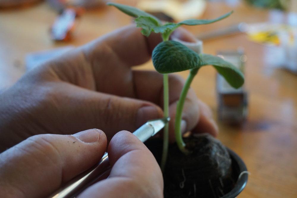 Det blir demonstrasjon på hvordan vi kan pode urteaktige vekster. Her agurk på gresskar.