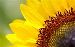 sunflower plant.jpg