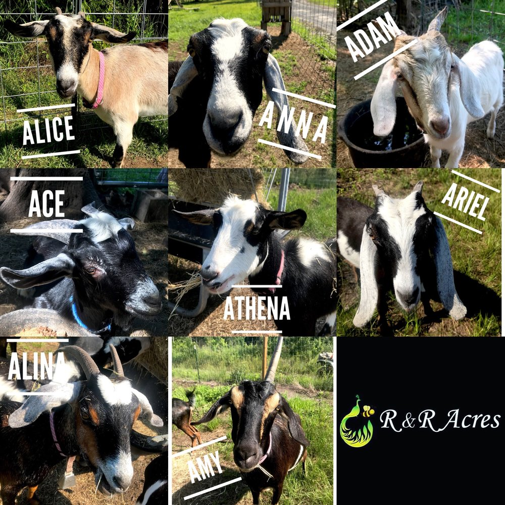 Our Goat Dairy Herd