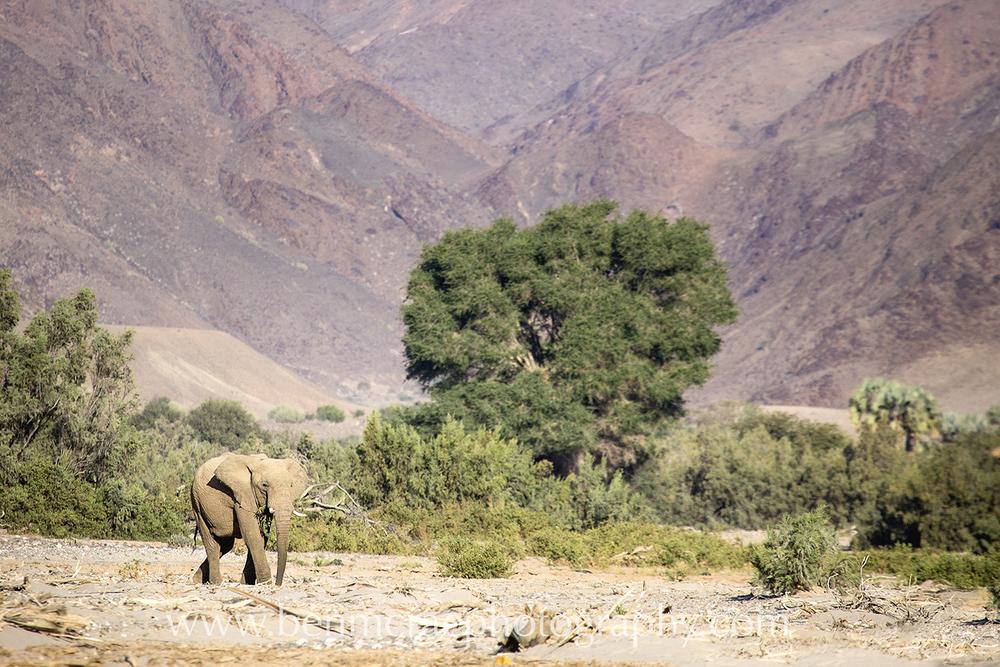 DESERT ELEPHANT IN KAOKOLAND