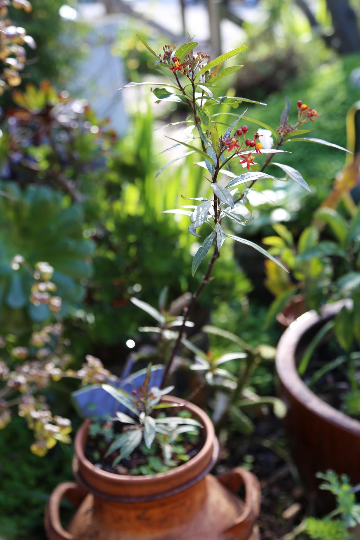 Butterfly Plant.JPG