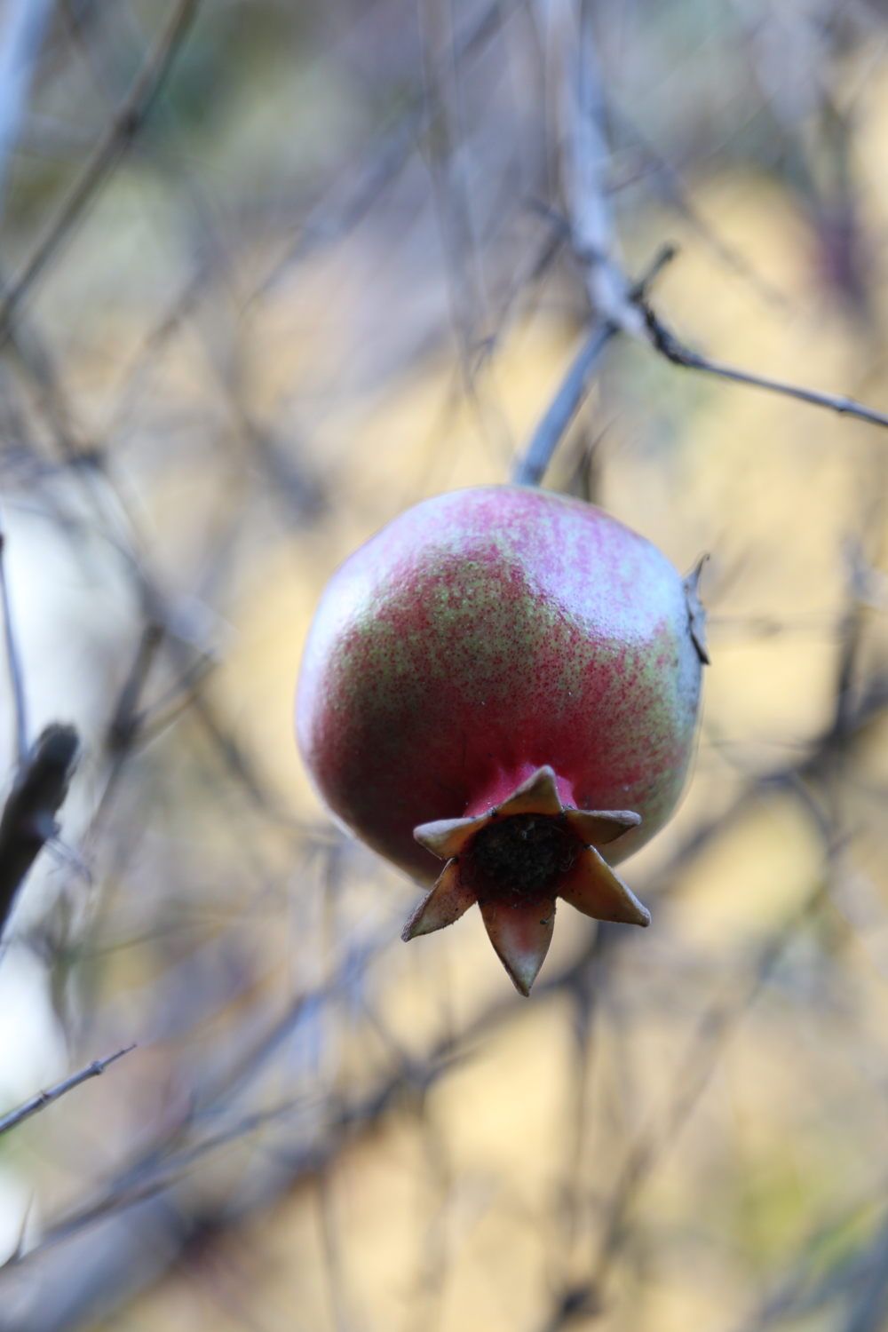 pomegranate tree.JPG