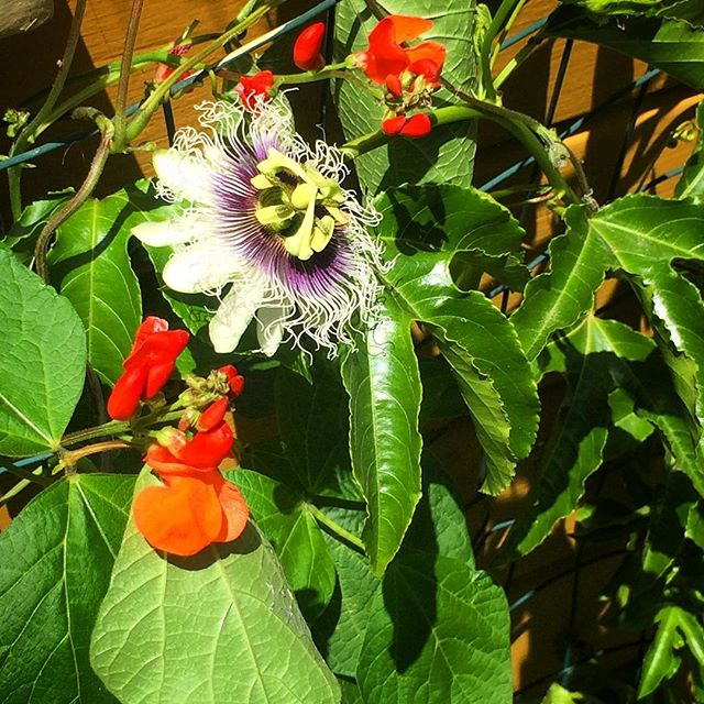 Passion fruit vine and scarlet runner beans are a great combo for a colorful vine covered wall.  They are both edible and beautiful.  In addition they are great for small spaces because they grow vertically rather then horizontally. #permaculture #ediblelandscaping #verticlegarden #garden #gardening #fruit #veggies #flowers #exoticfruit