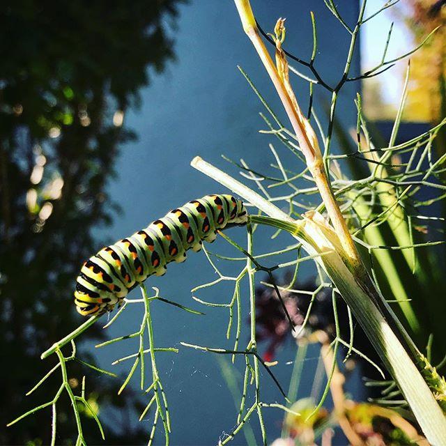 Swallowtail caterpillars love fennel.  Like 🦋? Grow 🌿! #pollenatorgarden #permaculture #caterpillar #landscape #gardening #nature #bayarea #oakland #ediblelandscaping #permaculturefarm #butterfly