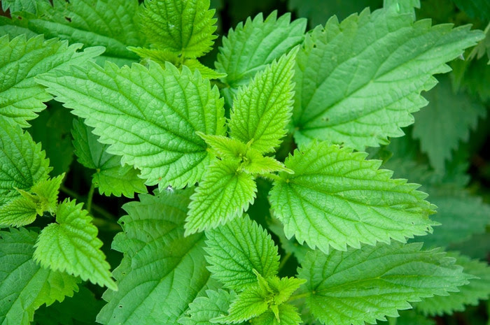 Stinging Nettle;  Urtica dioica