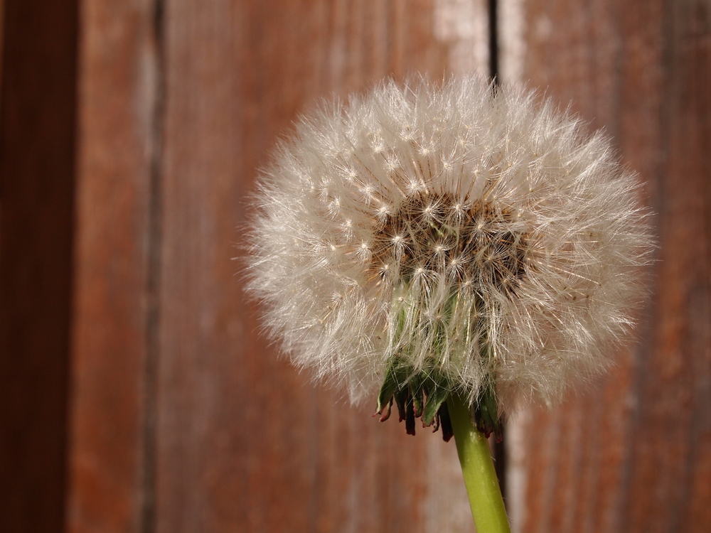 A picture of a dandelion, representing freedom from anxiety and stress