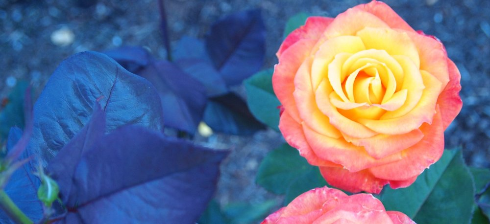 A photo of yellow and pink rose, representing the changes of pregnancy and postpartum