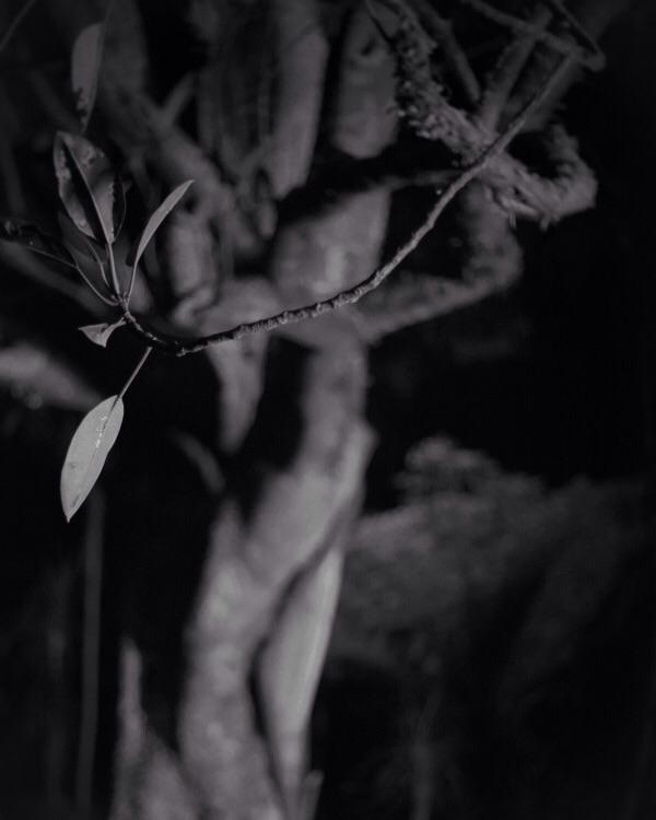 Shade Tree II