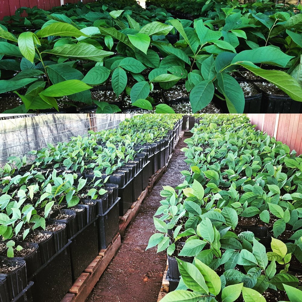 Paw Paw Seedlings