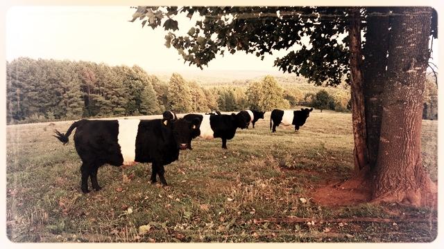 cows 1 2018.jpg