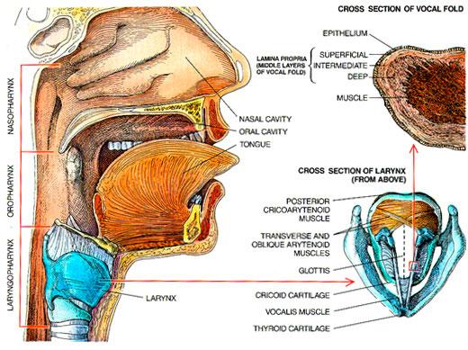 Larynx_Rendering1
