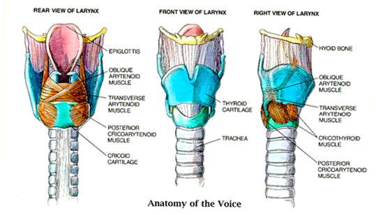 Larynx_Anatomy2