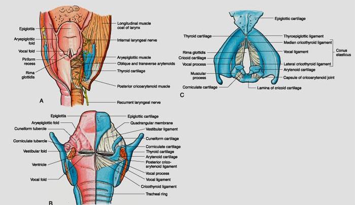 Larynx_Anatomy3