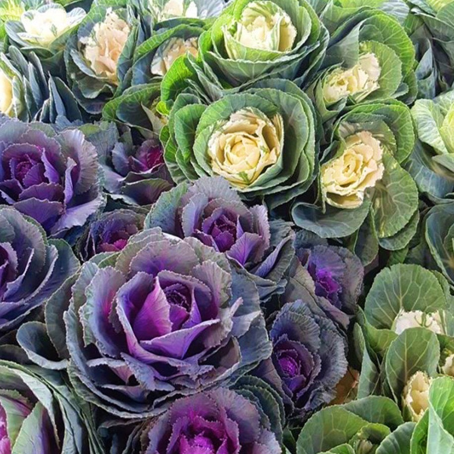 Colours; white, green & purple ornamental leaves  Season Availability; June - September     Your Willoughby florist does not think ornamental kale is great for eating!