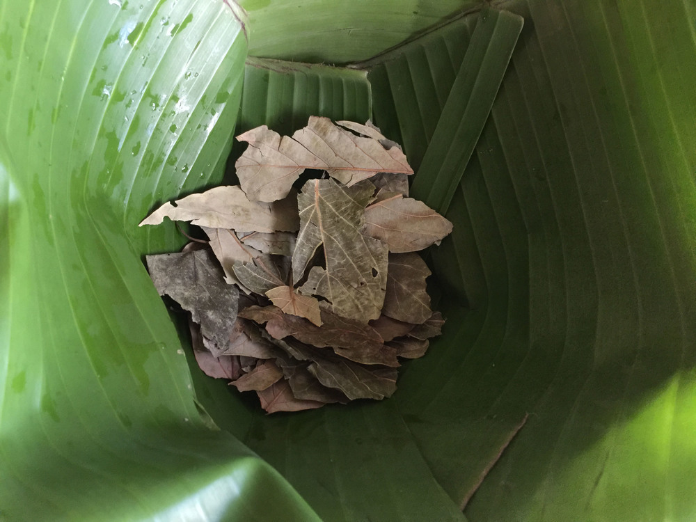 Avocado leaves in a banana-leaf-lined pot