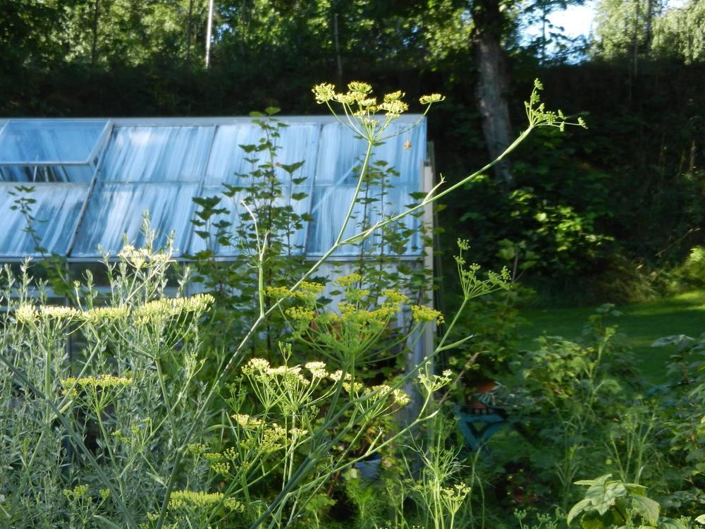 fänkål o växthus.jpg