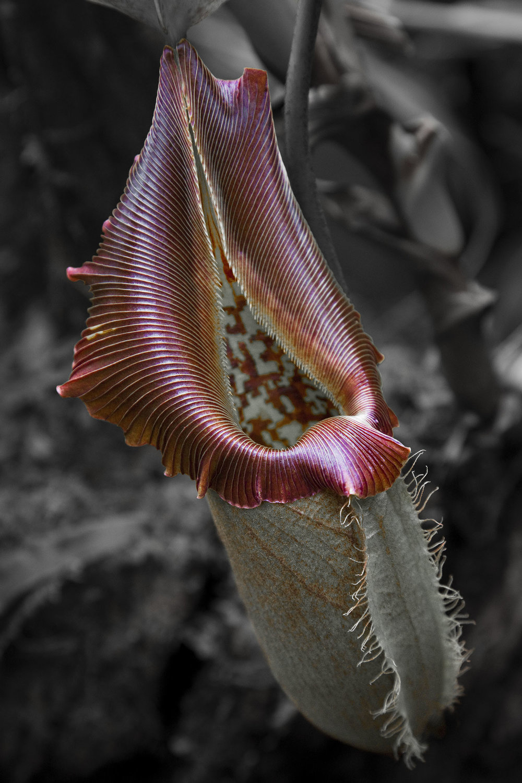 Pitcher Plant.
