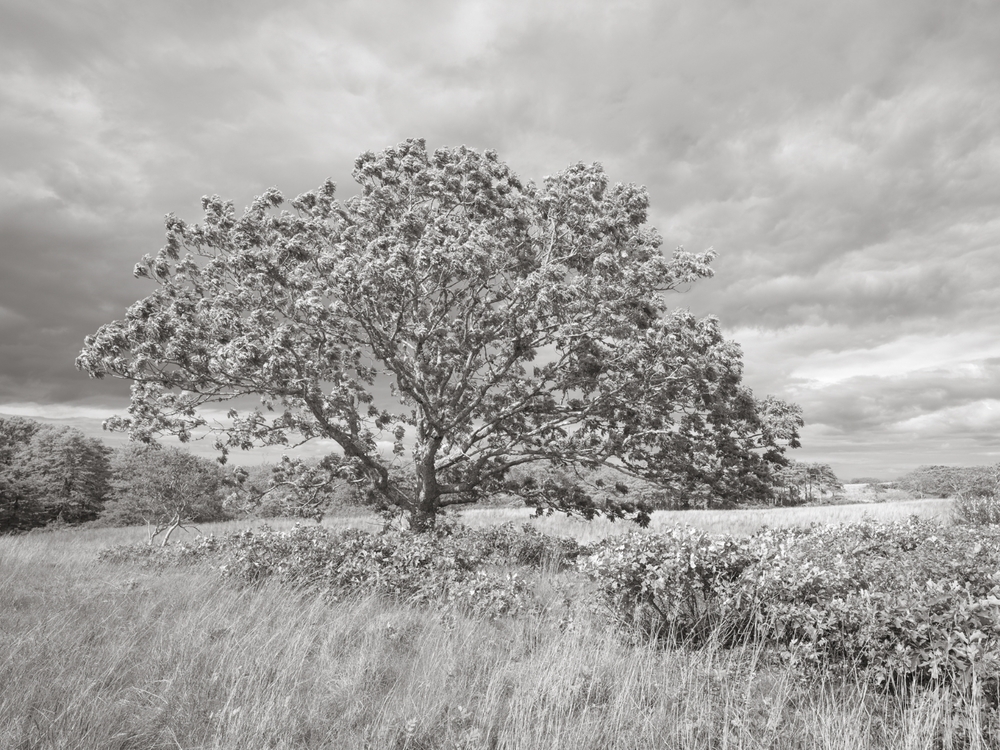 Oak Tree at Norwood Farm