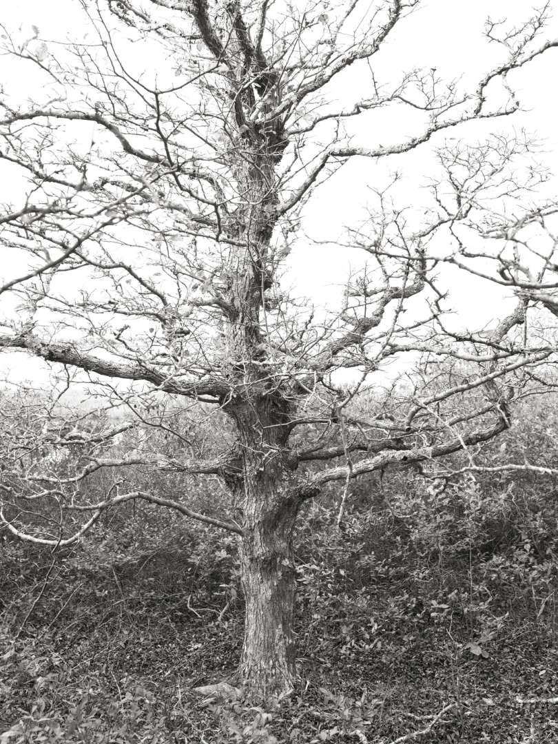 Tree at Coskata Woods
