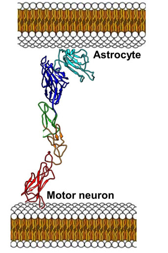 Pellecchia and colleagues hypothesize that interactions between motor neurons and astrocytes are responsible at least in part for the progression of motor neuron death in ALS patients. These interactions are mediated by the EphA4 receptor on motor neurons (which has several structural domains ending with the ligand binding domain in dark blue) and the protein ephrin-B2 (light blue) located on the surface of astrocytes — star-shaped glial cells in the brain and spinal cord. The investigative team has developed a molecule that is capable of breaking the interactions between the EphA4-ligand binding domain and ephrin-B2. The team hypothesizes that such an experimental therapeutic prevents astrocytes from interacting with and inducing motor neuron cell death with yet unknown mechanisms. ( Pellecchia Lab, UC Riverside )