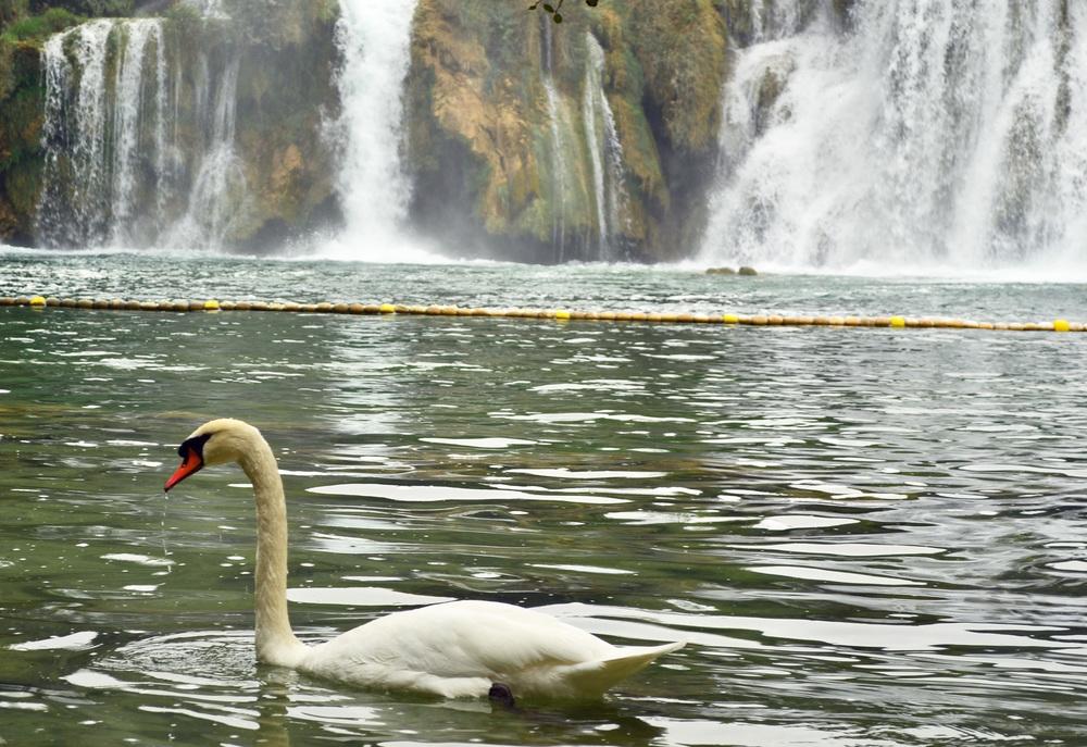 Swan in Croatia Krka