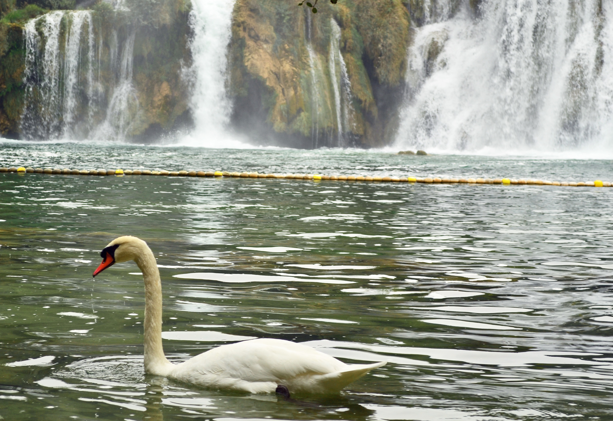 Swan in Croatia Krka