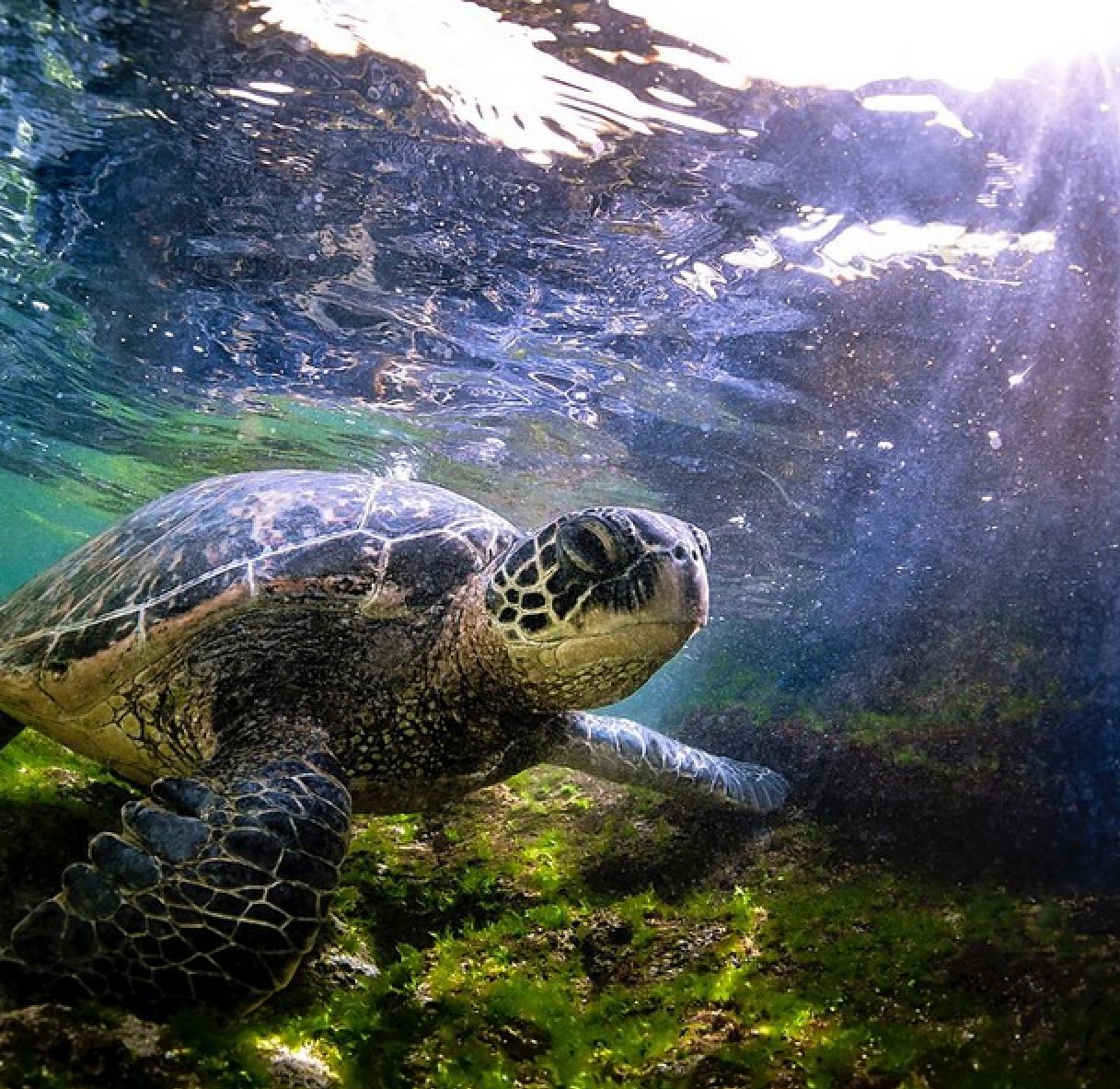 oahu turtle underwater