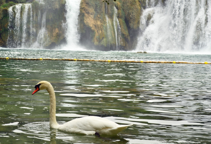 Swan-in-Croatia-Krka