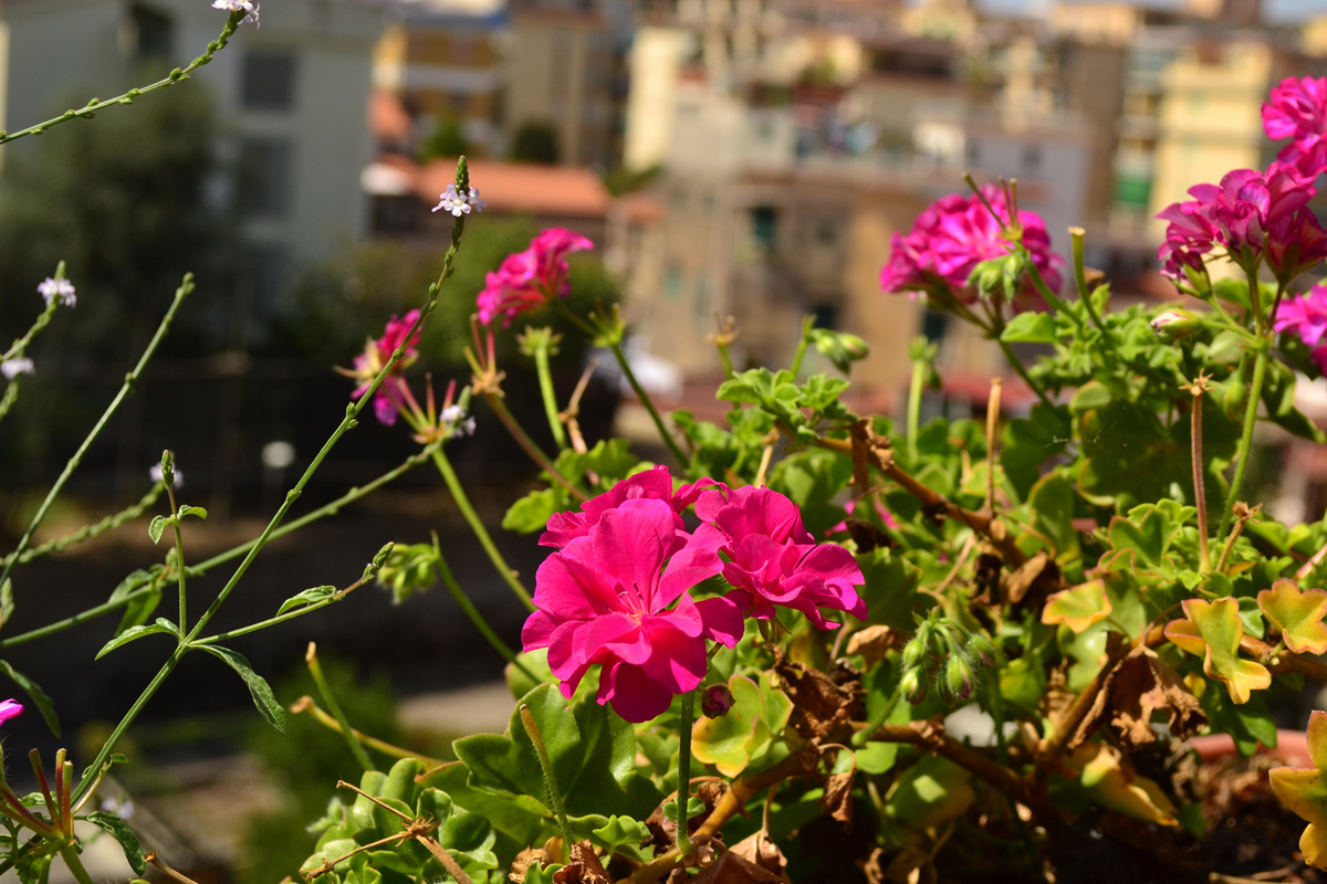 Flowers in Amalfi Coast Italy