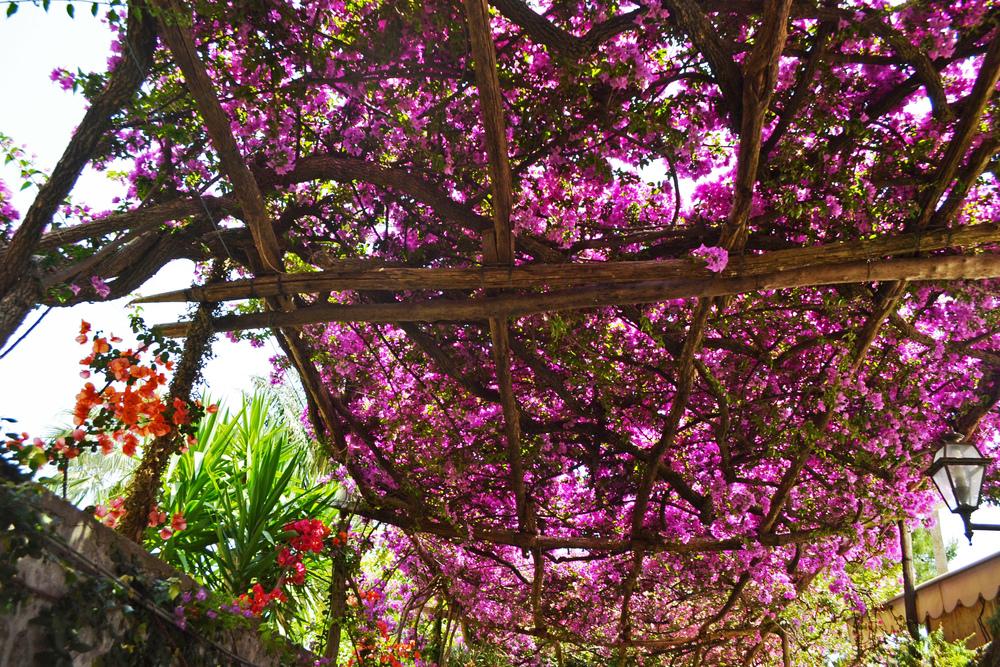 Canopy of Purple Flowers