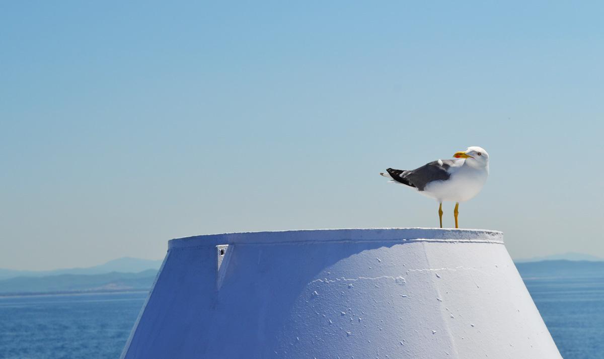 Seagull Italian Coast