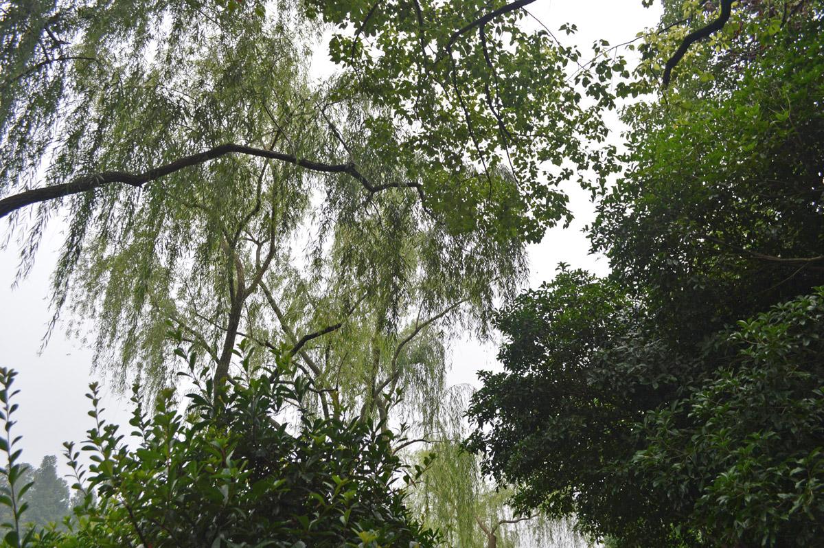Hangzhou Trees