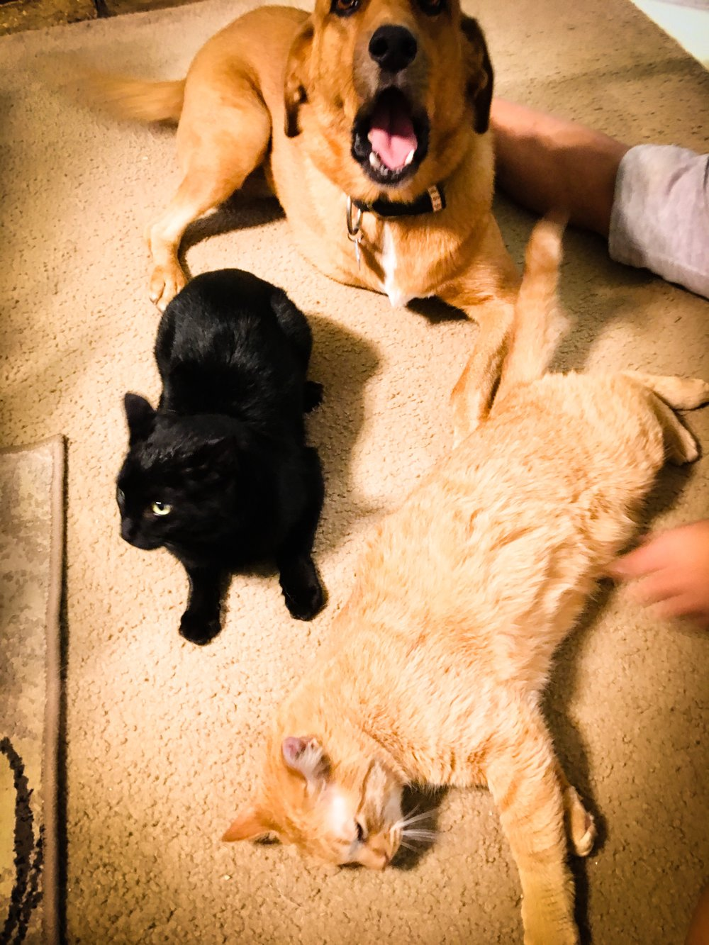 Leia, Romeow and Meowxwell - tHEY KEEP US SANE.LeiA IS A THREE LEGGED RESCUE DOG.rOMEOW IS A SKIDDISH RESCUE CAT.mEOWXWELL IS A FAT BASTARD.