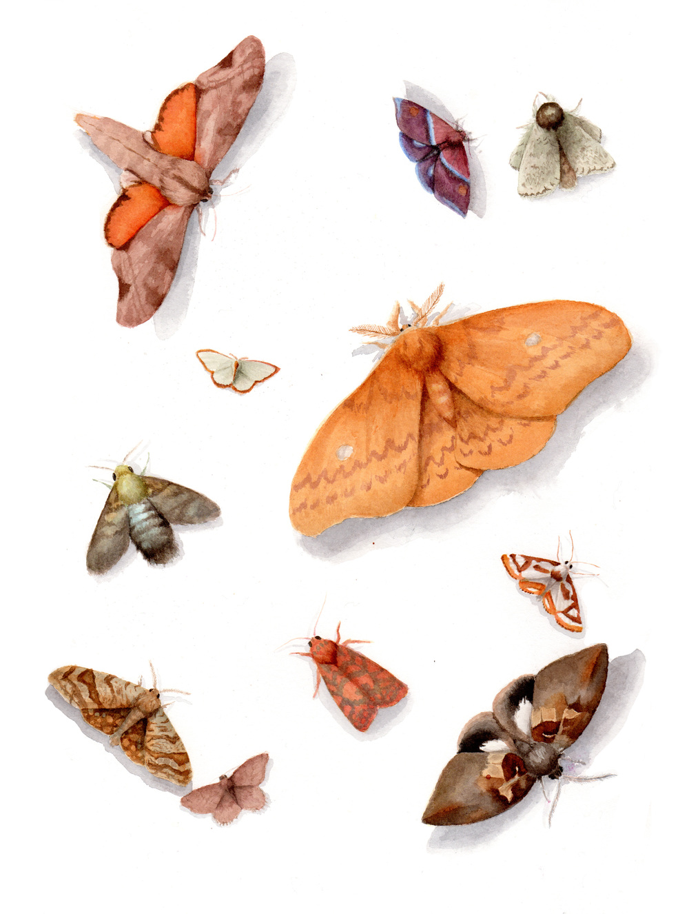 Moths of Queensland Australia