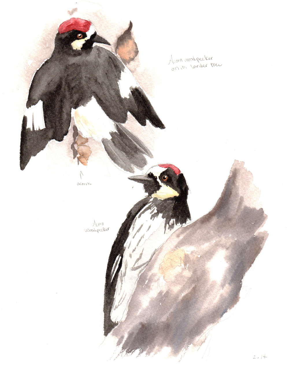 Acorn woodpecker field sketches