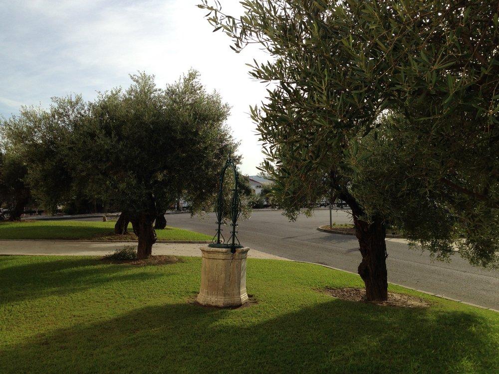olive trees at valdespino fall 2013.jpg