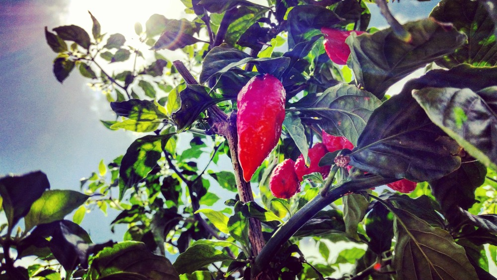 organically grown ghost chili or bhut jolokia, North kohala, Big Island Hawaii, Pacific Ocean