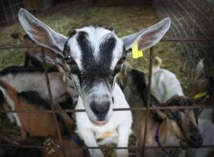 Lucky Penny Farm Goat