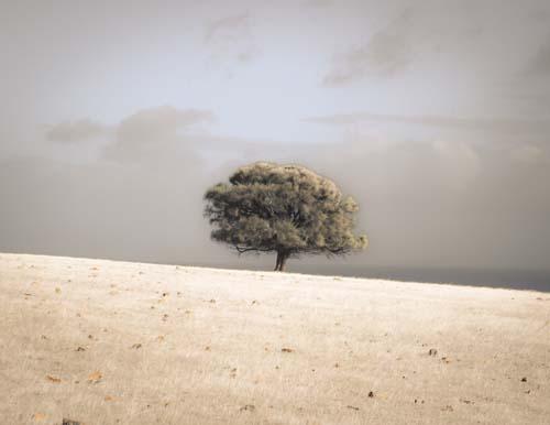 Lone Sheoak Tree by Ocean Kangaroo Island, South Australia'